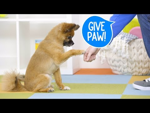 Train Your Dog to Give Paw   Chewy