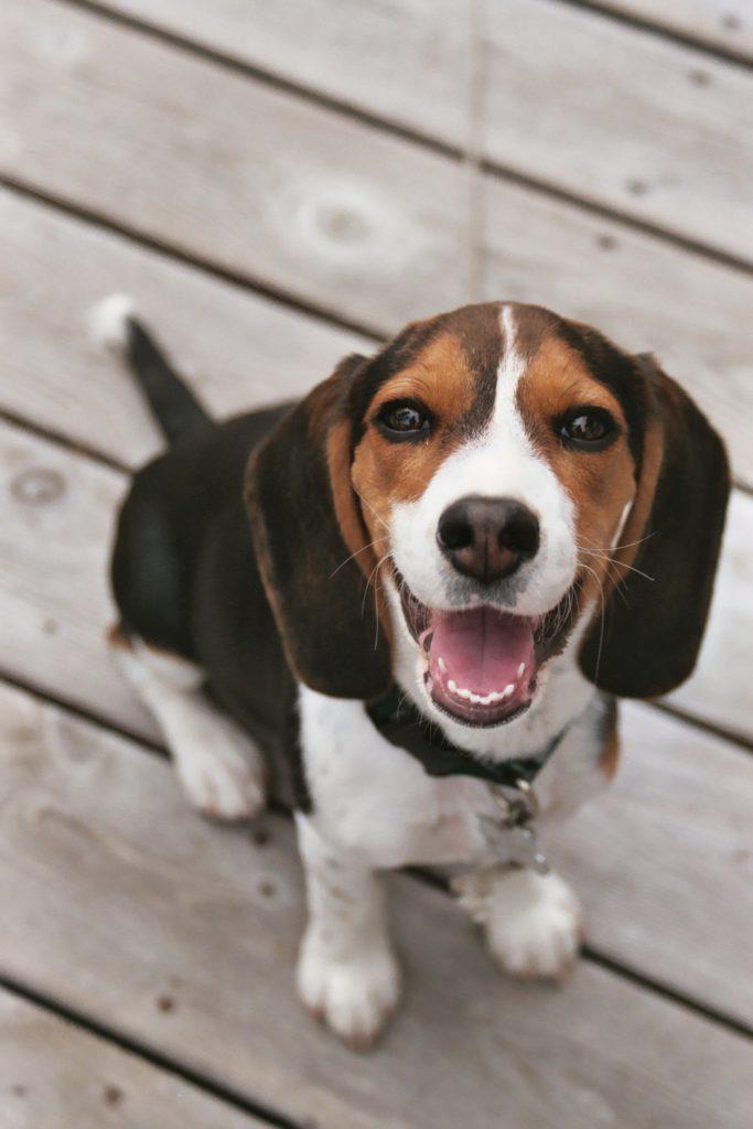 Beagle oogcontact zit