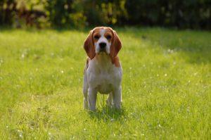 Hond grasveld