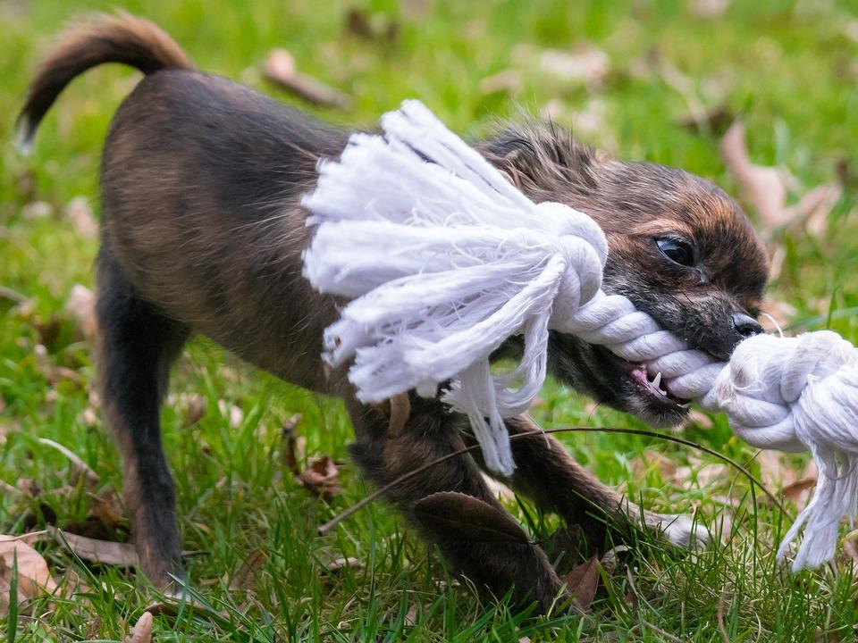Puppy bijt in touw