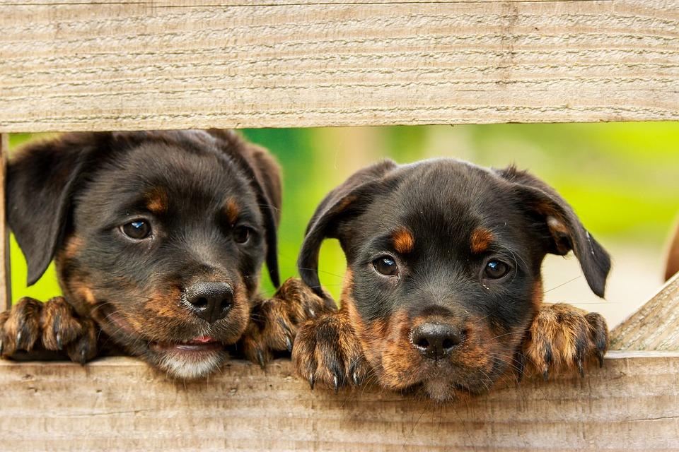 Puppy rottweilers bijten afleren
