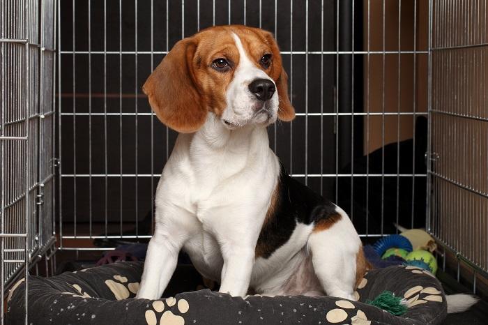 Beagle op kussen in bench