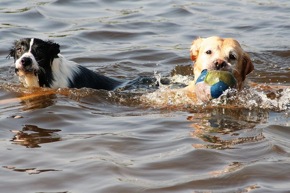 Zwemmende honden met bal