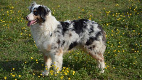 Australian Shepherd: Een Unieke Werkhond