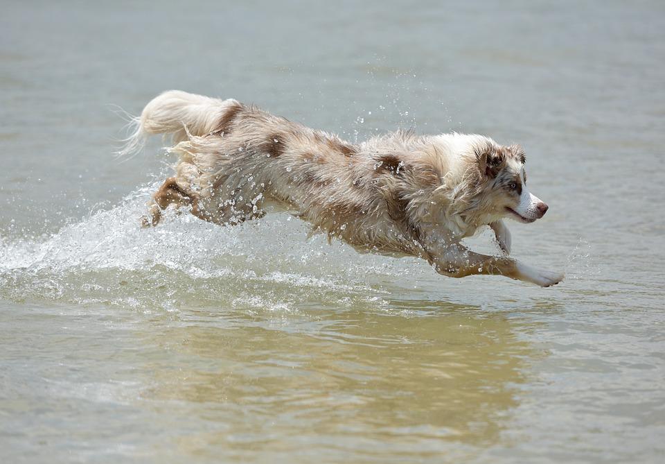 Zwemmende Australian Shepherd