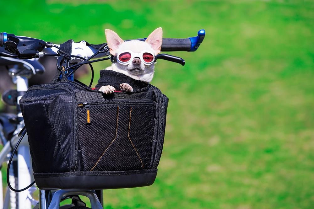 Chihuahua in fietsmand