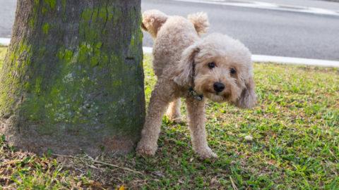 Puppy Zindelijk Maken (de snelste manier)