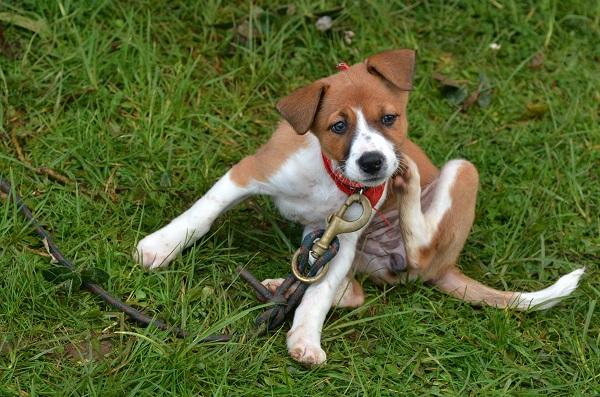 Hond met vlooien jeuk