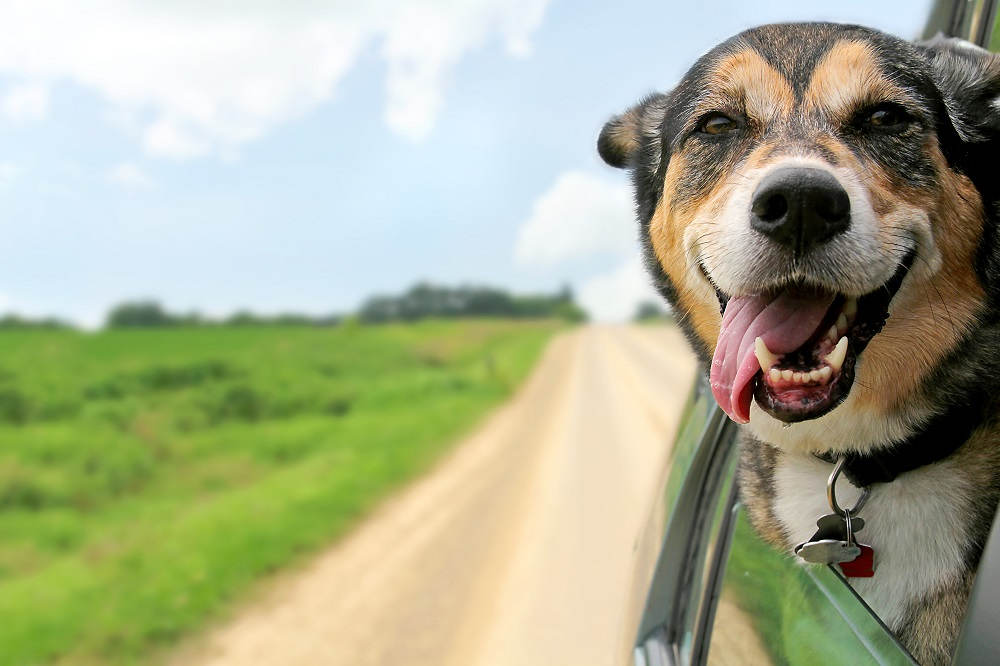Hond uit raam auto