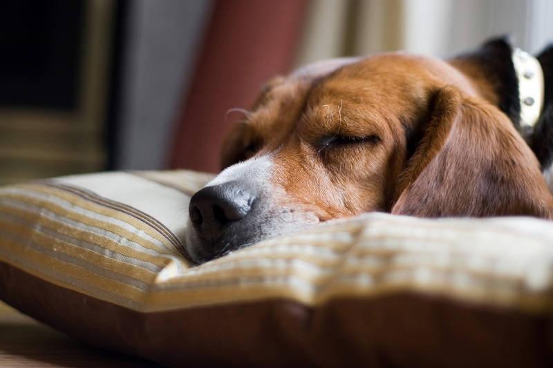 Slapende beagle
