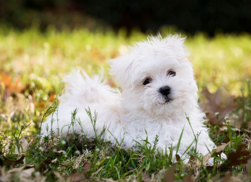 Maltezer hond in gras