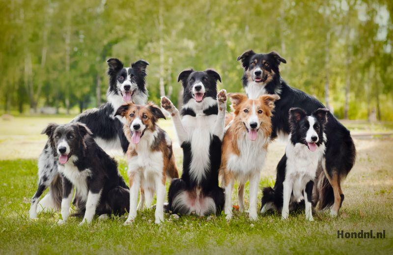 Groep border collie honden