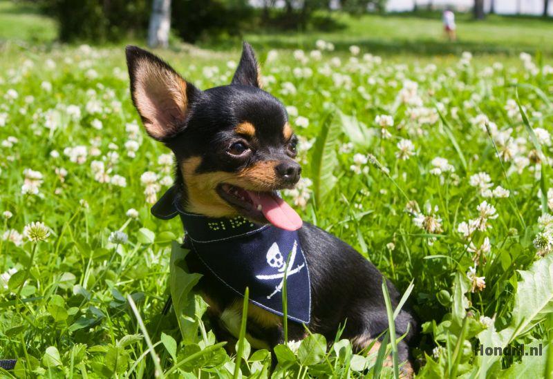 Chihuahua in gras