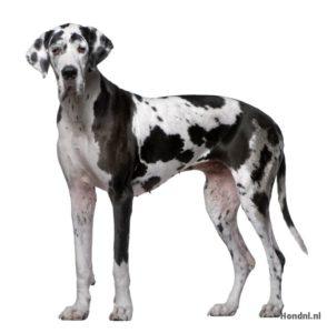 Duitse dog zwart wit