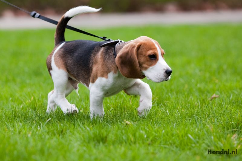 Beagle wordt uitgelaten
