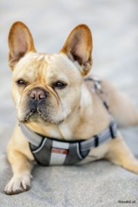 Franse bulldog tuigje