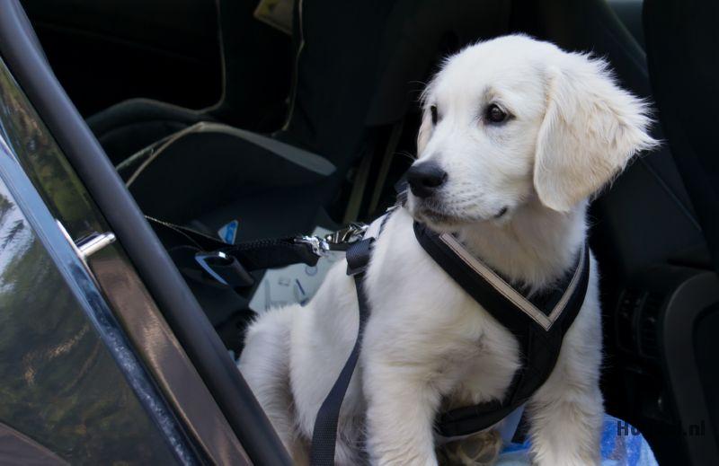 Labrador hondentuig