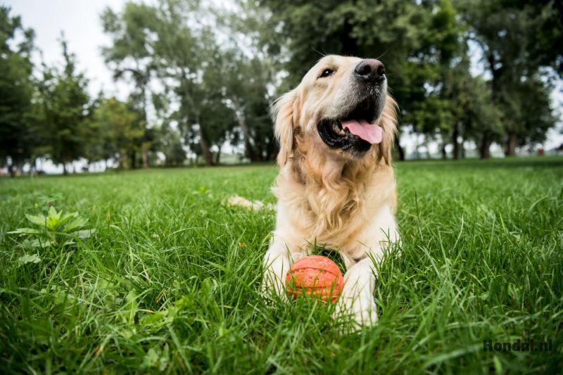 Labrador met bal