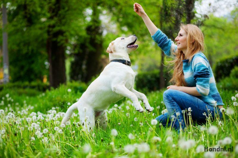 Labrador pup training