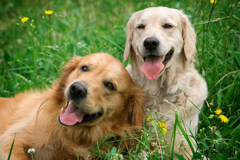 Labradors in gras