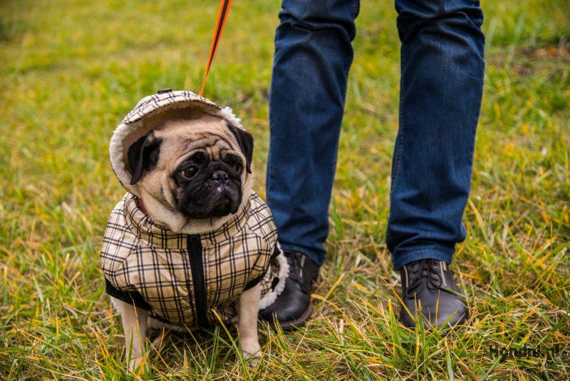 Pug met hondenjas