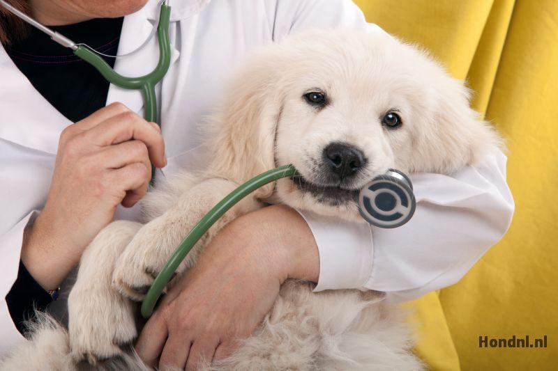 Labrador puppy bij dierenarts
