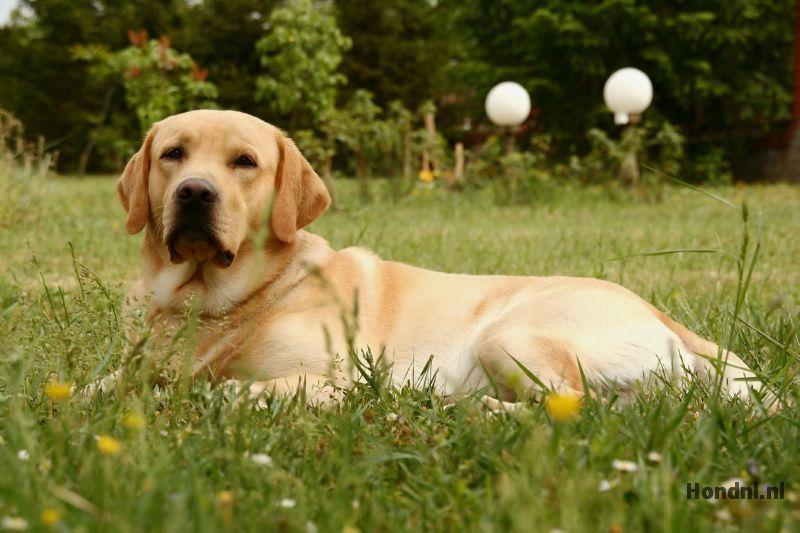 Labrador in weiland