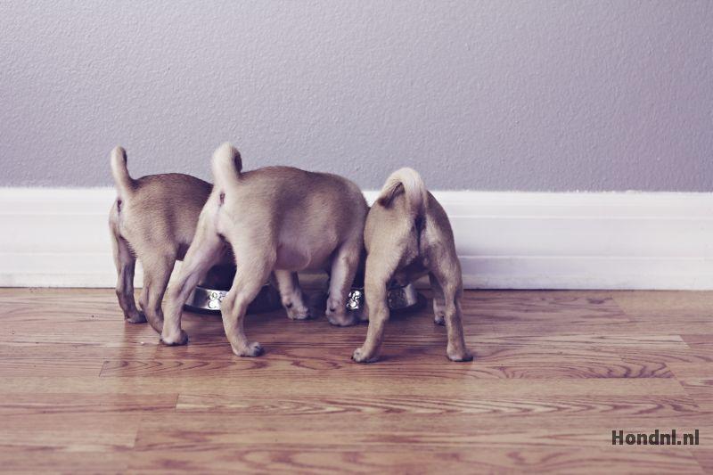 Puppies eten 1 voerbak