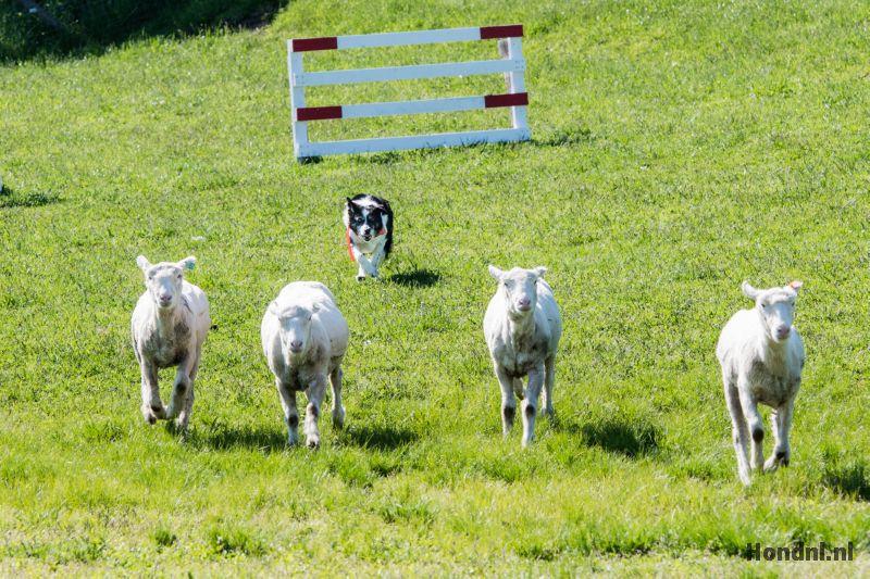 Border collie schapen fluit
