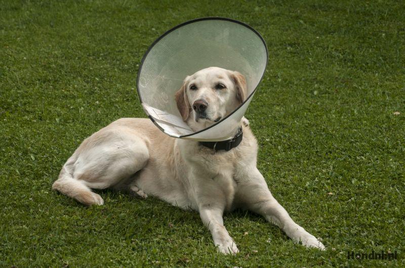 Labrador met hondenkraag