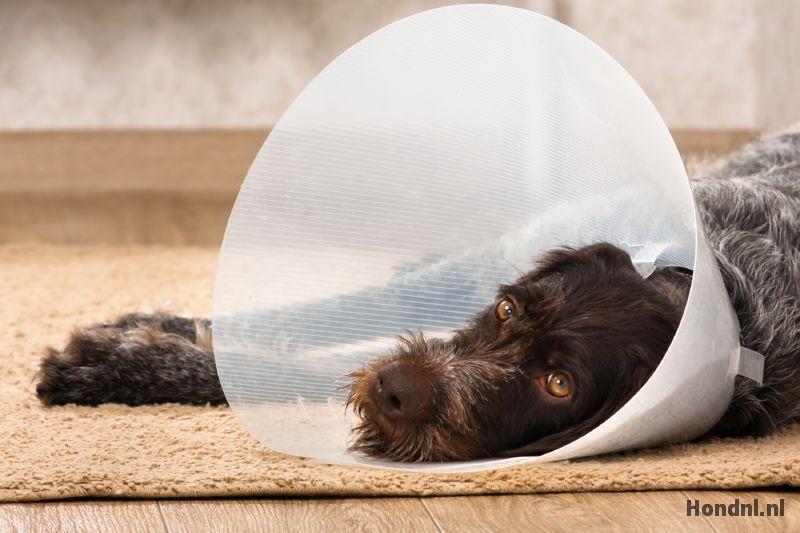 Hondenkraag na operatie