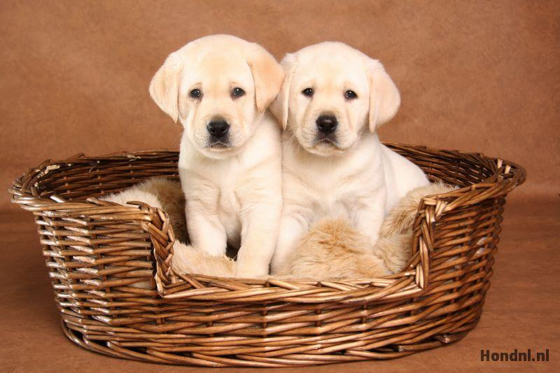 Labrador puppies hondenmand